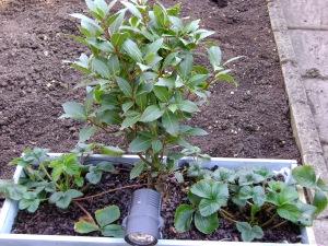 Newly Planted Garden II